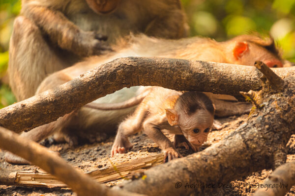 Bonnet Macaque baby crawling