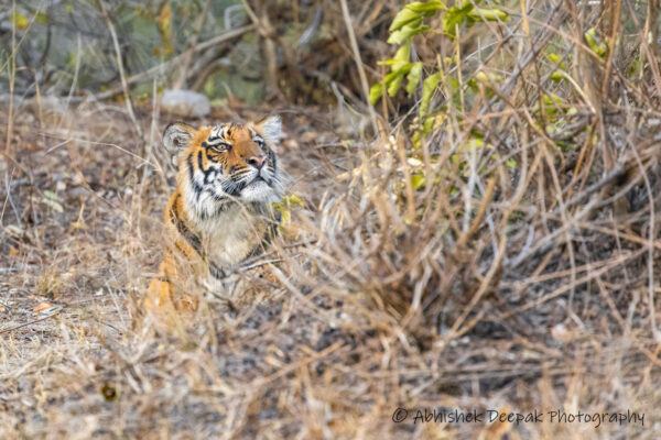 sub-adult male tiger at Jhirna zone of Jim Corbett National Park